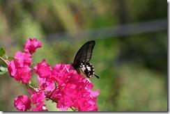 IMG_4571 papillo memnon