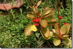 IMG_4588 Catopsillia pyranthe male