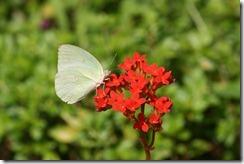 IMG_4675 Catopsillia pyranthe female