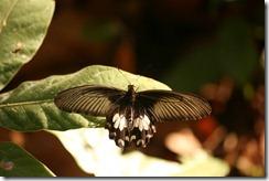 IMG_5745 Pachliopta species