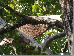 bee hive in branches