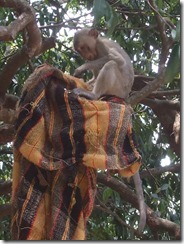 monkey with cloth in tree