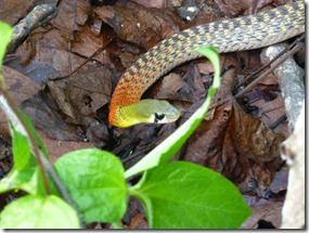 snake red-neck keelback