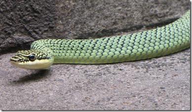 snake walls bronzeback