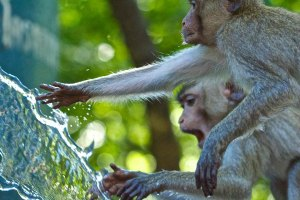 Monkeys water CL